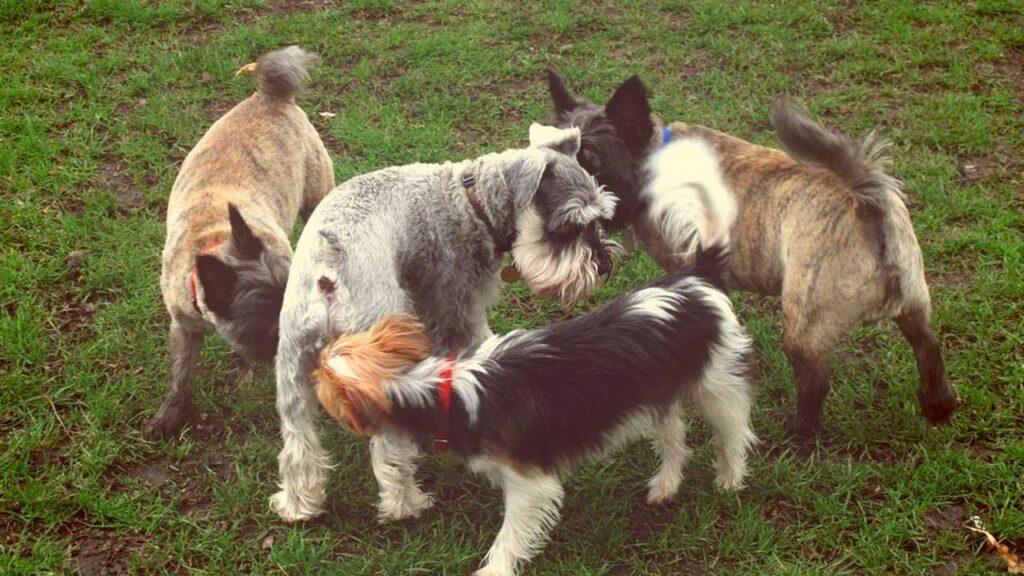 chiens reniflent sous la queue