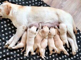 nourrir chienne enceinte