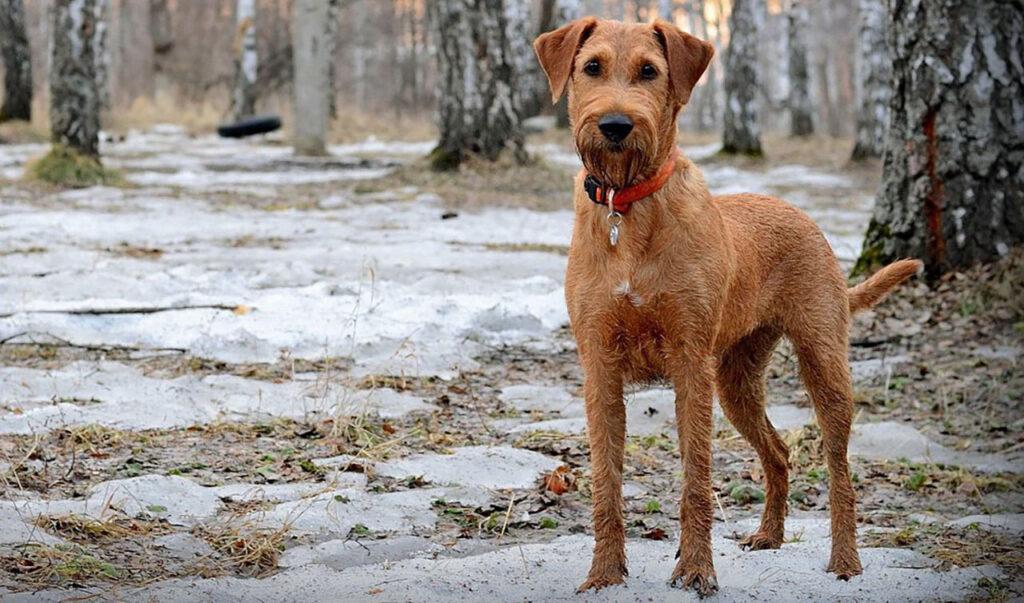 Irish Terrier - terrier irlandais