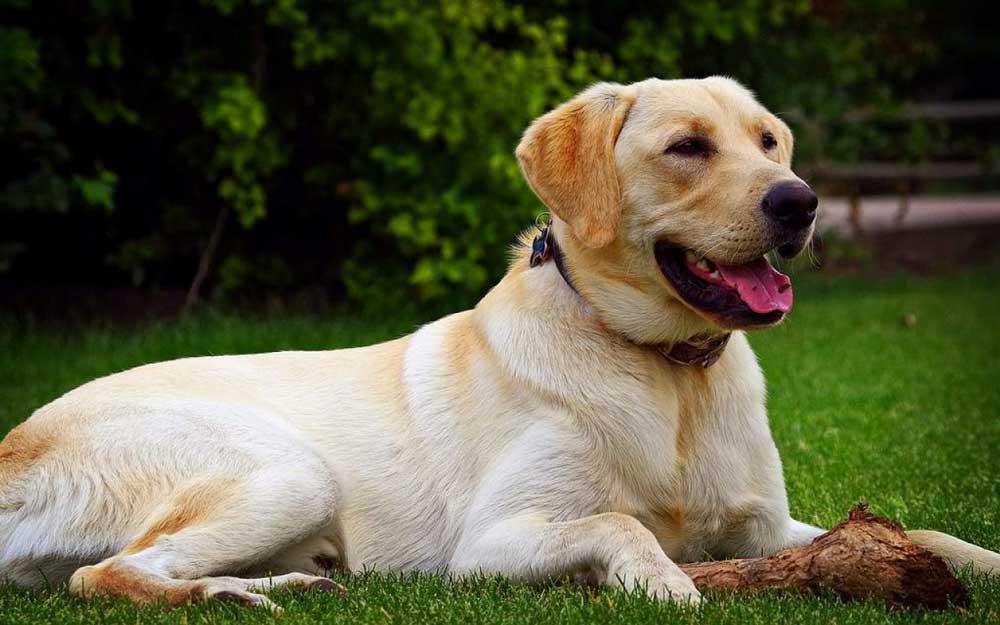 chiens obésité Labrador Retriever