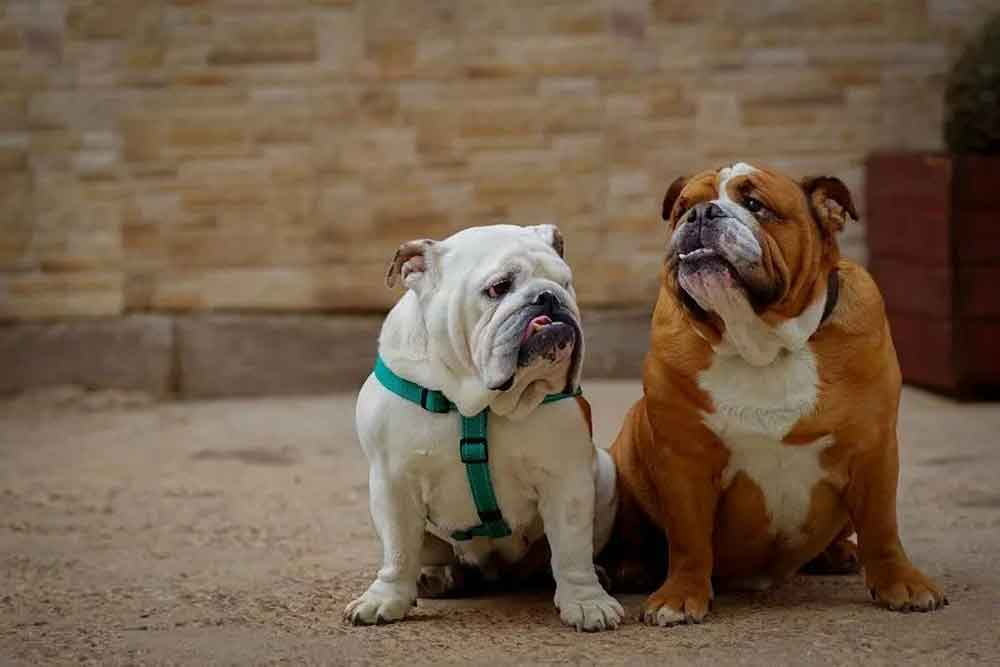 chiens obésité Bulldog anglais