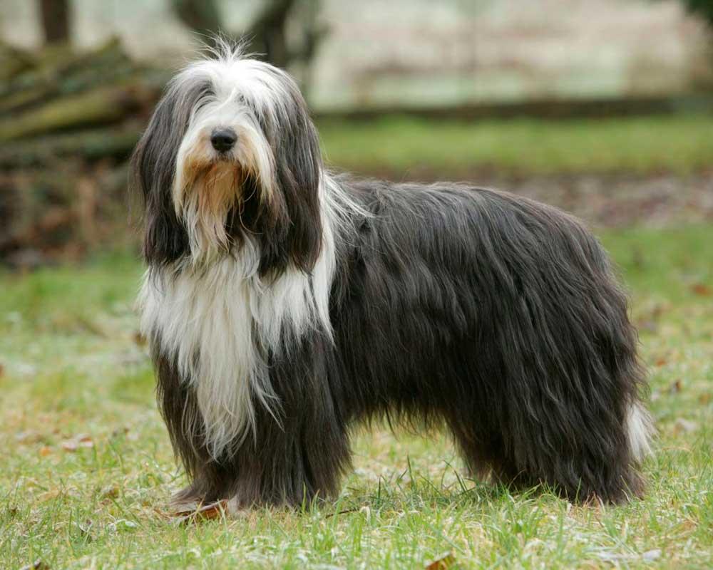 races chiens plus chères monde