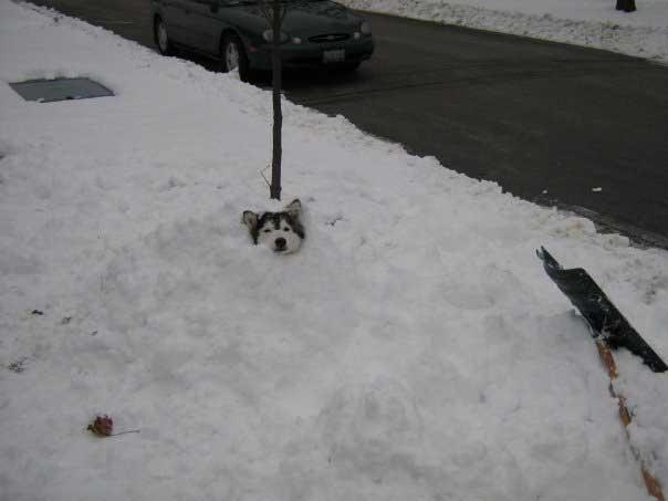 Tally Husky élevé par chats