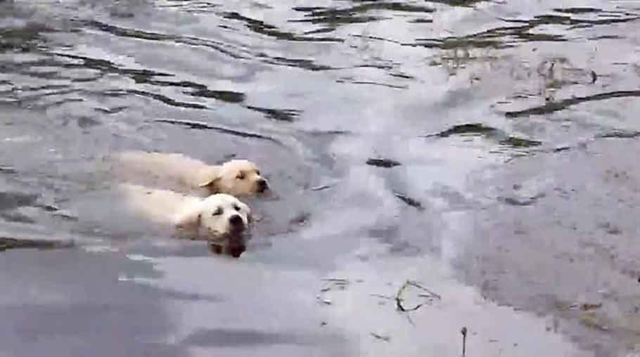 vidéo maman labrador apprenant chiots nager