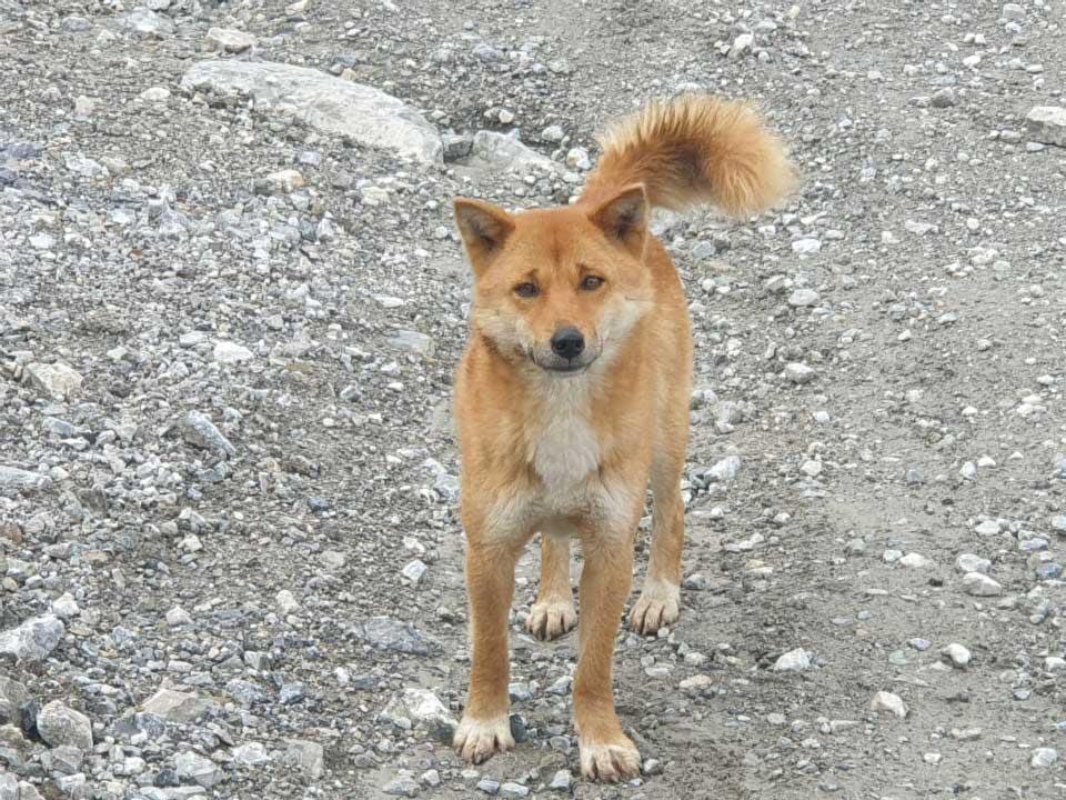 chien chanteur de Nouvelle-Guinée