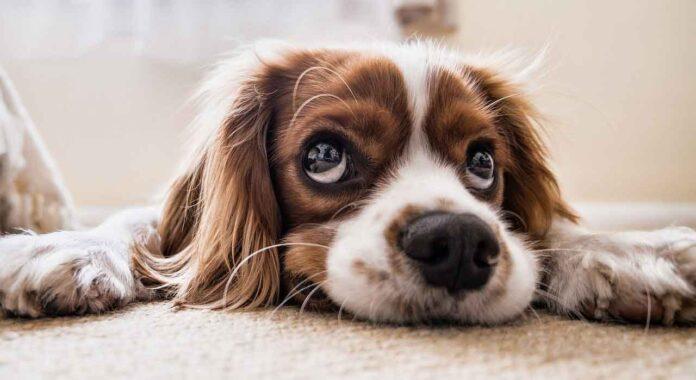 Étude chiens yeux tristes