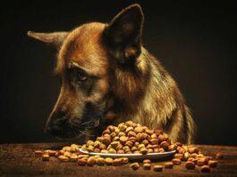chiens constamment affamés