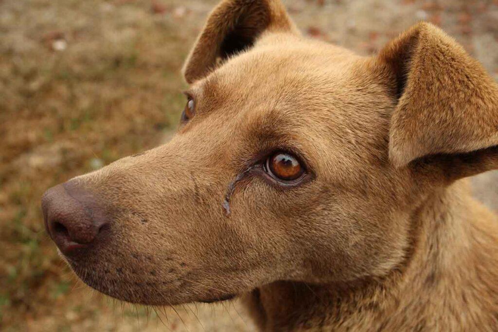 La conjonctivite chez les chiens
