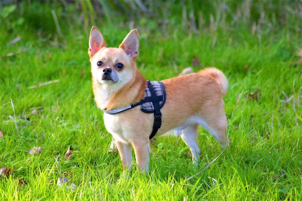 Les races de chiens les plus petites du monde Chihuahua