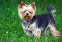 races chiens plus petites