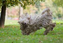 TOP 10 des races de chiens les plus drôles
