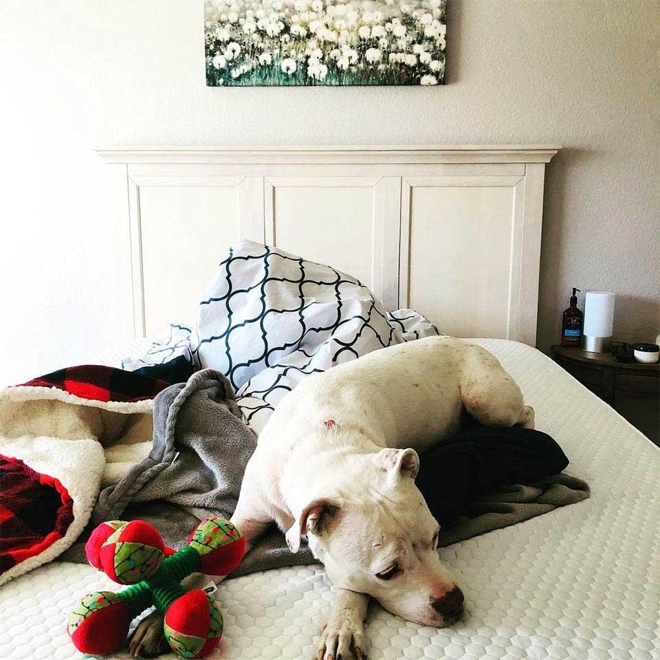 pitbull sous-poids trouvé appartement abandonné