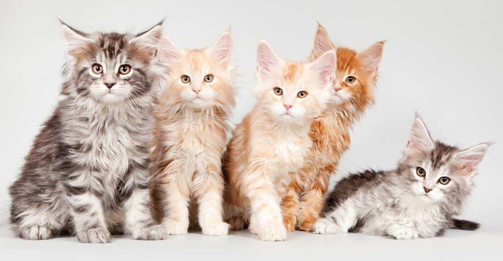 Choisir un chaton Maine Coon