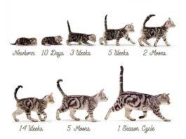 Développement du chaton semaine par semaine