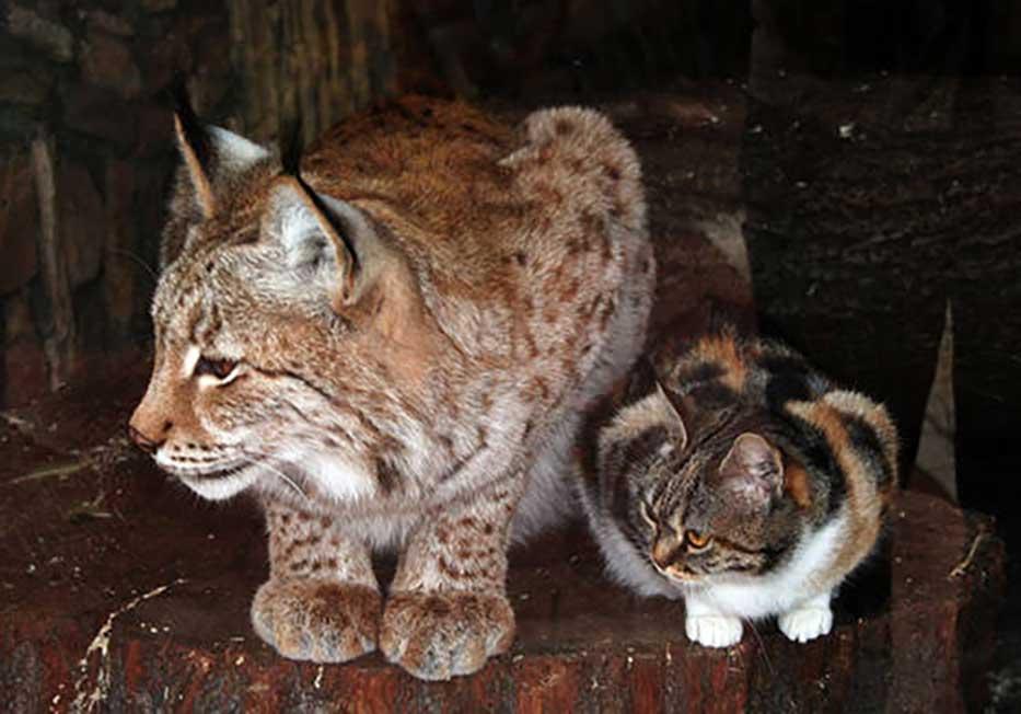 chat et lynx zoo Saint Pétersbourg