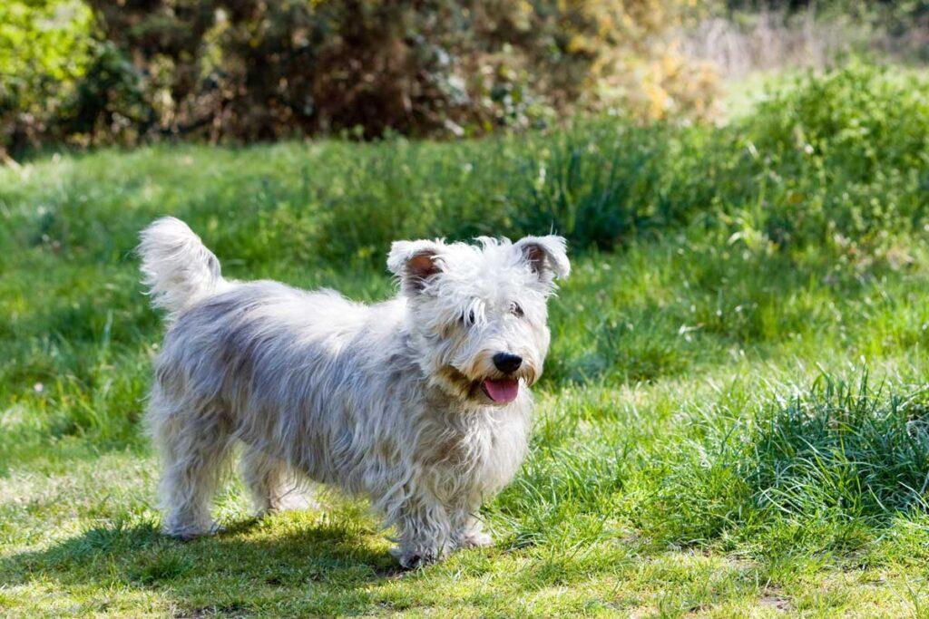 Races de chiens rares