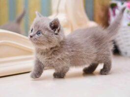 Les plus petites races de chats au monde