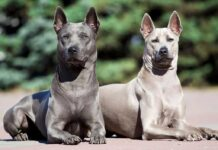 Races chiens rares