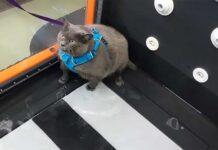 chat obèse ennuyé se plaint physiothérapie