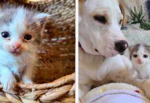 chaton apparaît cour trouve compagnie ami chien