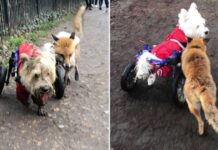 chien fauteuil roulant guide renard aveugle