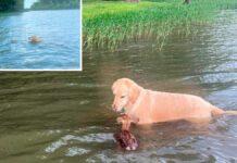 chien sauve faon noyade