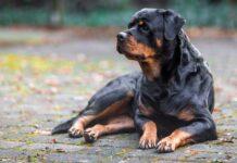 Rottweiler bon chien pour moi