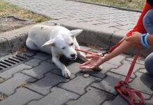 doux petit chien a erré rue animée demandant aide