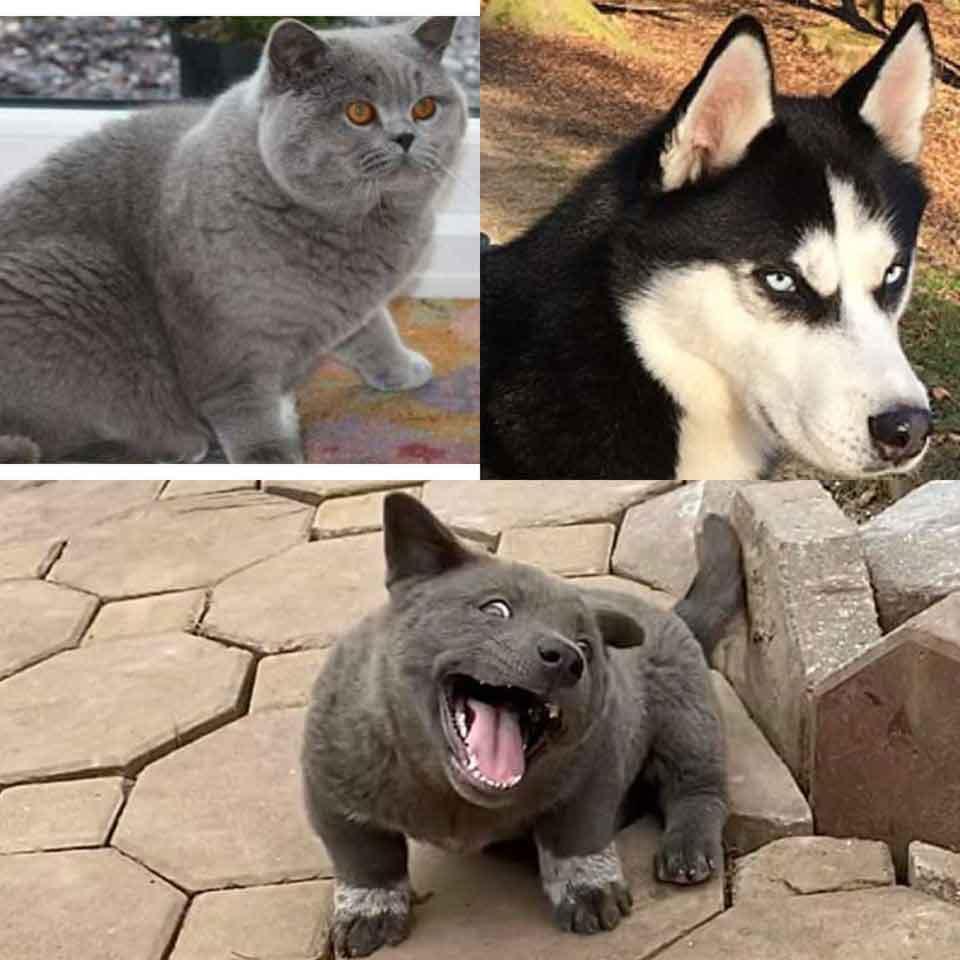 Dui chiot ressemblant à un chat vietnam