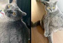 Pitoe chat rond devait être euthanasié