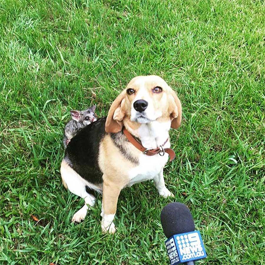 beagle adopte opossum perdu chiots