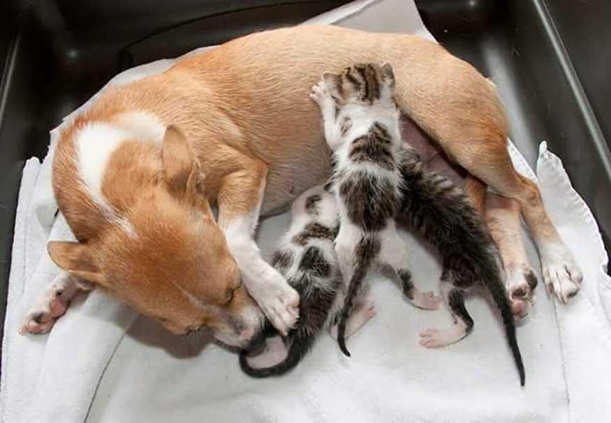 Esperanza a adopté ces chatons orphelins et s'est occupée d'elle comme de ses propres enfants. Elle et les petits chatons ont trouvé un foyer