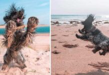 cocker spaniel chien montre amour plage