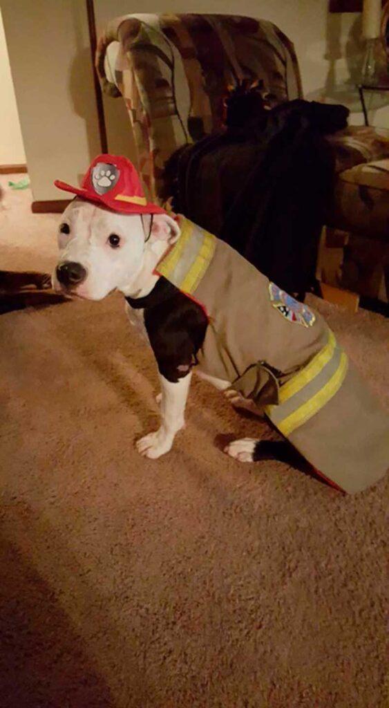 pompier sauve pitbull feu