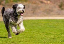 Aussiedoodle chien mixte