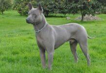 chien thaïlandais à crête dorsale