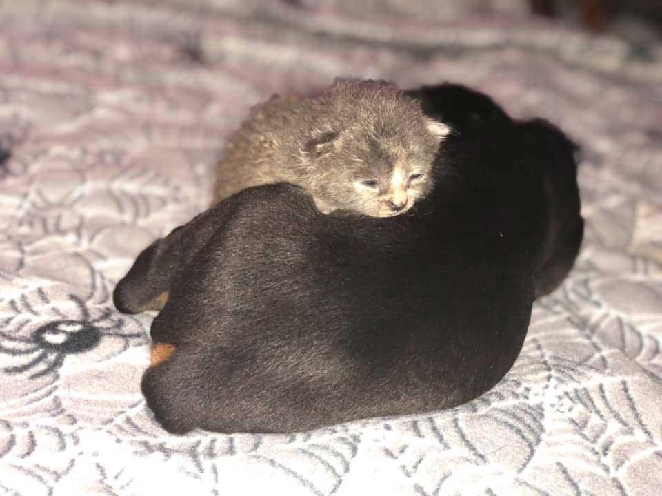 doberman s occupe chaton orphelin