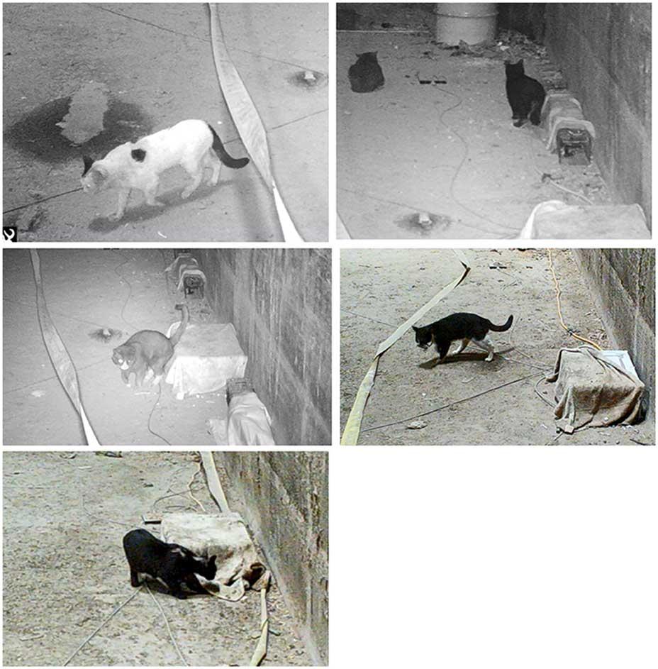 chats mauvais chasseurs rats