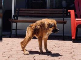 chien né colonne vertébrale courte