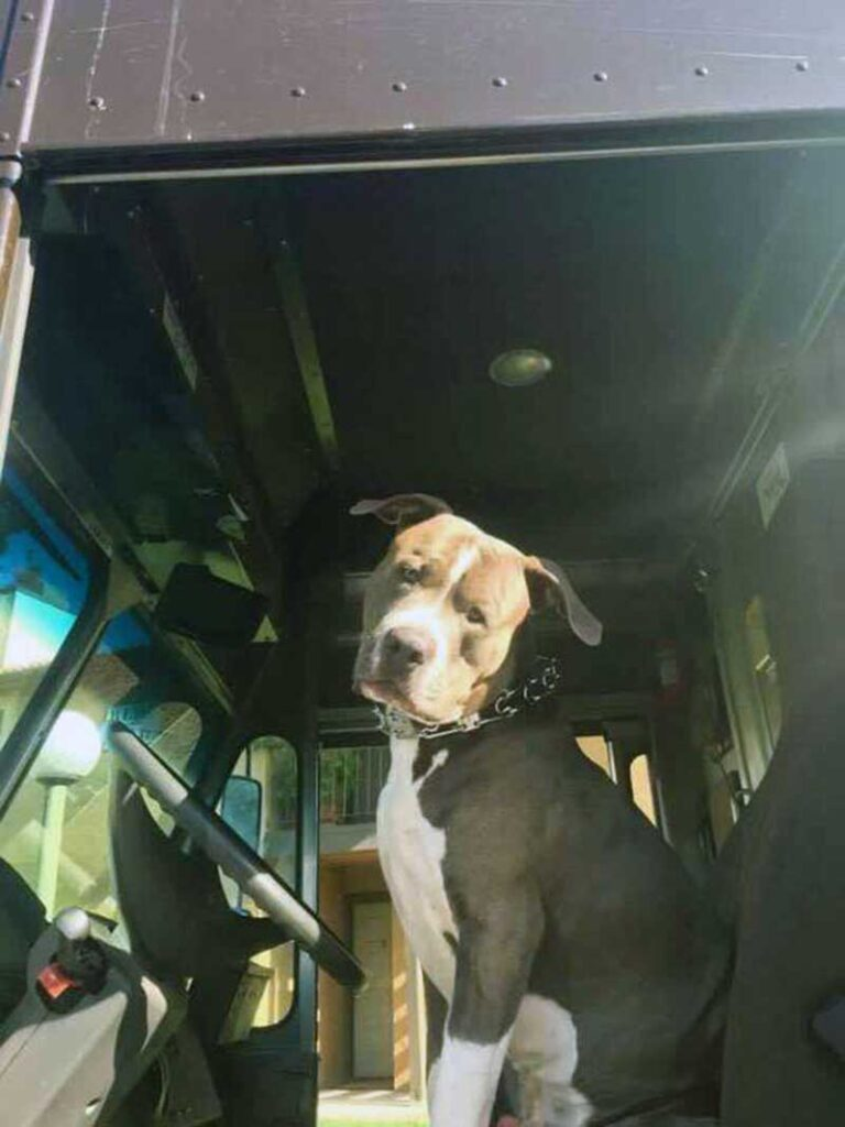 conductrice UPS adopte énorme pitbull mort propriétaire