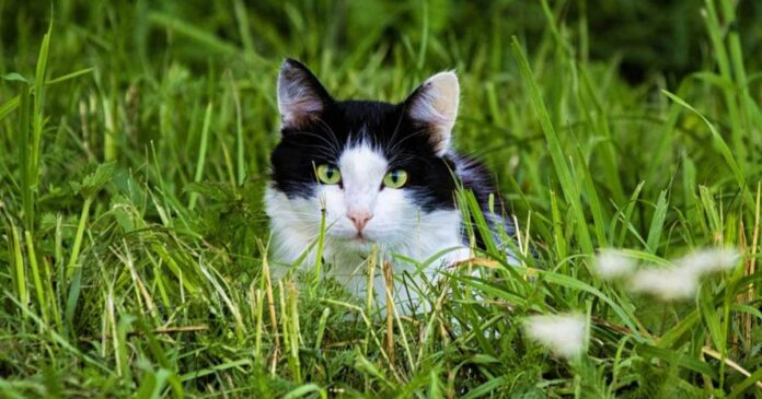 pourquoi chats mangent herbe